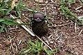 Plum dung beetle (Anachalcos convexus) 3 of 4.jpg