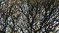 Plumeria (2209706718).jpg