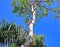 Plumeria bracteata.jpg