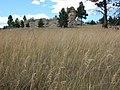 Poa pratensis in a field.jpg