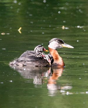 Red-necked grebe - Adult of American subspecies with chick