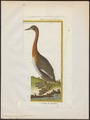Podiceps major - 1700-1880 - Print - Iconographia Zoologica - Special Collections University of Amsterdam - UBA01 IZ17800053.tif