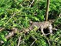 Podlaskie - Suprasl - Kopna Gora - Arboretum - Tsuga canadensis 'Pendula' - branch.JPG