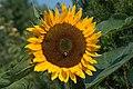 Poertschach Zehnte Oktober Strasse 65 Sonnenblume 12082015 1348.jpg