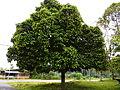 Pokok manggis.jpg