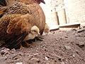 Pollo frente a su madre en el jardin 02.JPG