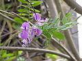 Polygala myrtifolia5.jpg