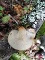 Polyporus tuberaster 15066923.jpg