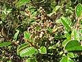Pomaderris paniculosa subsp. paralia.JPG