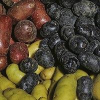 Pommes de terre (Diverses variétés)-2-cliche Jean Weber (23568716472) (cropped).jpg