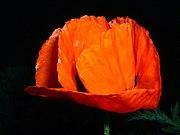 Poppy - Ontario Canada - Relic38.JPG