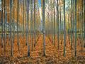 Popular trees in Hunza Valley.jpg