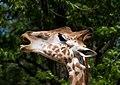 Portrait de girafe.jpg