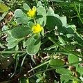 Portulaca flowering plant TelAviv 07 2015.jpg