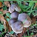 Possibly Side-shoot Bonnet, Mycena latifolia (49054537288).jpg