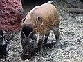 Potamochoerus porcus.jpg