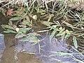 Potamogeton nodosus sl1.jpg
