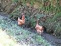 Poulets à cou nu dans les fossés d'Aussurucq.jpg