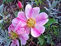 Prairie Rose (14705298016).jpg