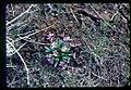 Primula cusickiana plant in SW Idaho 2.jpg