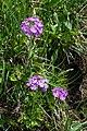 Primula denticulata Spechtensee 01.JPG