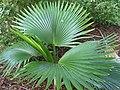 Pritchardia napaliensis (5209618953).jpg