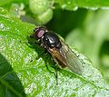 Probably Cheilosia albitarsis -or C. ranunculi. - Flickr - gailhampshire.jpg