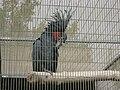 Probosciger aterrimus -Paphos Zoo-3.jpg