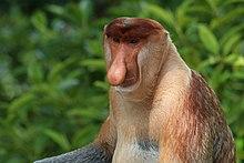 proboscis monkey   wikipedia