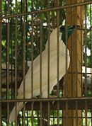 Procnias nudicollis -captivity-4.jpg