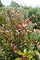 Protea cynaroides kz4.jpg