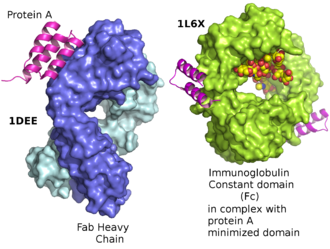 Protein A - Structure of a domain of protein A as a three-helix bundle binding to the heavy variable chain of a VH3 human Fab  left. Minimized protein A bound to Fc fragment of Rituximab.