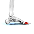 Proximal phalanges of left foot03 medial view.png