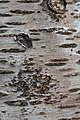 Prunus cerasus Montmorency tree bark 13.jpg