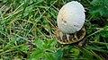Psathyrella candolleana gljiva (1).jpg