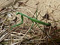 Pseudomantis albofimbriata female 2.jpg