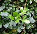 Pseudopanax lessonii in Auckland Botanic Gardens 03.jpg