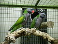 Psittacula derbiana (pair) -captive-8a.jpg