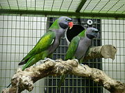 Two grey parrots with green back and wings, one with red beak