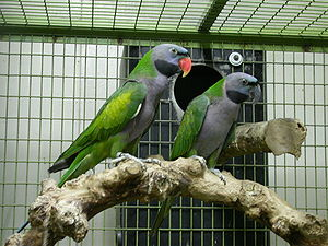 Lord Derby's parakeet - A pair - male on left and female on right