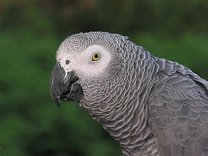 African Grey Parrot is native to West-African ...