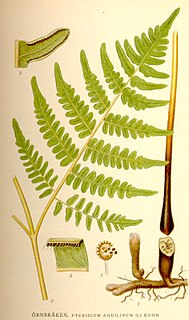 Bracken genus of plants, the Brackens