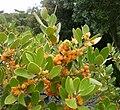 Pterocelastrus tricuspidatus Candlewood tree South Africa 8.JPG
