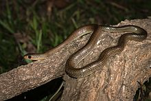 Ptyas korros, Indochinese rat snake - Prachantakham District (23927870042).jpg
