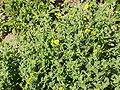 Pulicaria dysenterica1.jpg