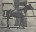 Pur-sang anglais 1923.jpg