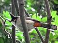 Pycnonotus jocosus, Hong Kong (6939989627).jpg