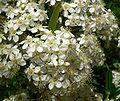 Pyracantha koidzumii Santa Cruz flowers.jpg