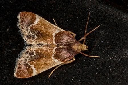 Pyralis farinalis, Lodz(Poland)02(js).jpg