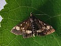 Pyrausta aurata - Mint moth - Огнёвка золотистая (25972047087).jpg